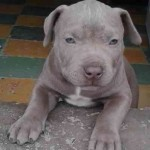 pitbull-american-stanford-blue-nose-silver-7949-MCO5293716574_102013-O