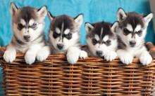 husky hunde