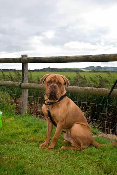 Bulldogge Burgunder