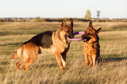 Deutscher Schäferhund männlich