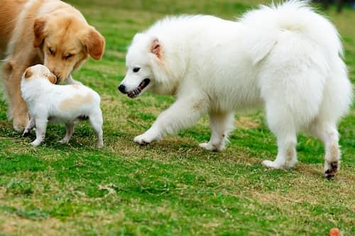 Drei Hunde spielen