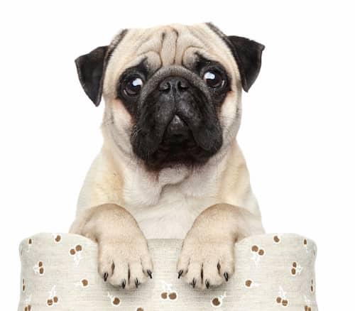 Hund carlino