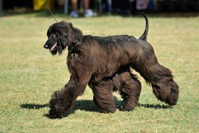 Afghanischer Windhund mit schwarzen Haaren