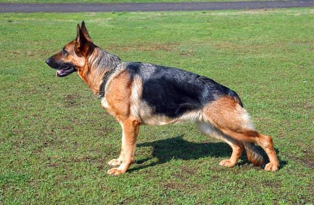 Hundenamen schäferhund