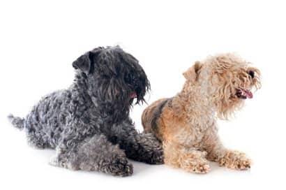 zwei erwachsene kerry blue terrier