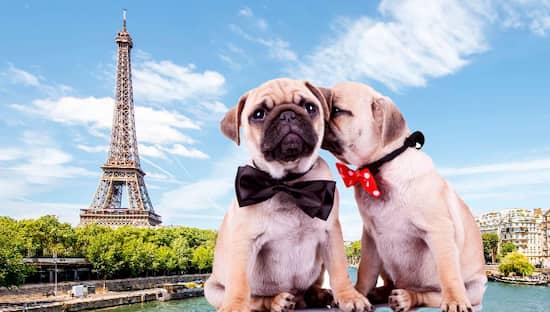 Carlin Hunde in Paris