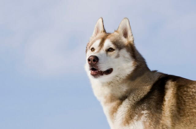 Sibirischer Husky namens Apollo