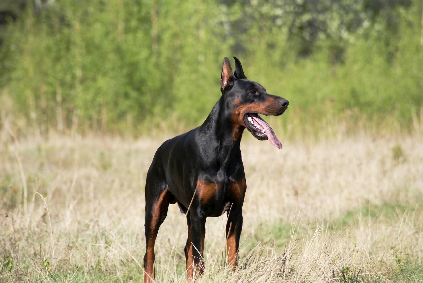 2 Jahre alter Dobermannhund