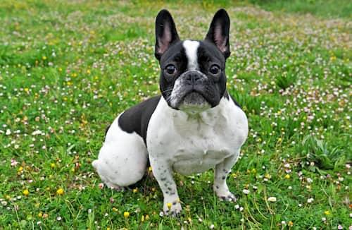 Schwarz-Weiß-Bulldogge