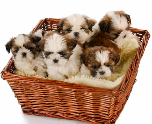 Shih Tzu Hunde
