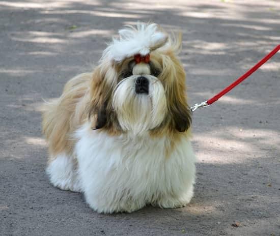 beste Namen für Shih Tzu Hunde