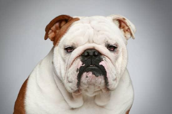 erwachsene Hunderasse Bulldogge