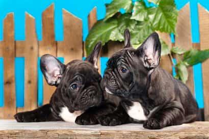 zwei schwarze Bulldoggenhunde