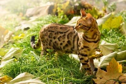 Begali Katze der Tigerfarbe