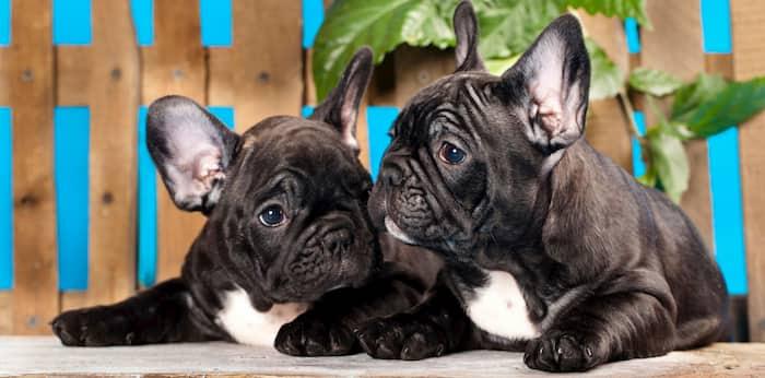 Bulldogge Hundepaar