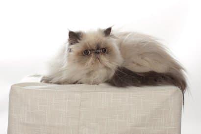 Katze der Himalaya-Rasse liegend