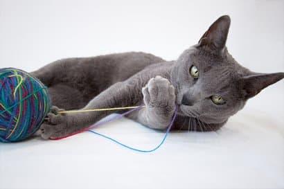 Russische blaue männliche Katze