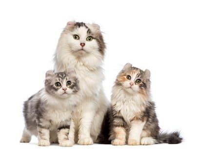Männliche Katze der amerikanischen Lockenrasse