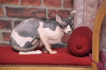rosa und graue Sphynx weibliche Katze