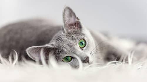 schöne graue Katze