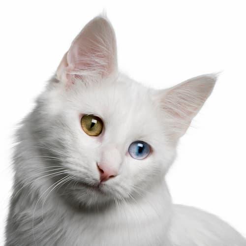 schöne weiße Katze
