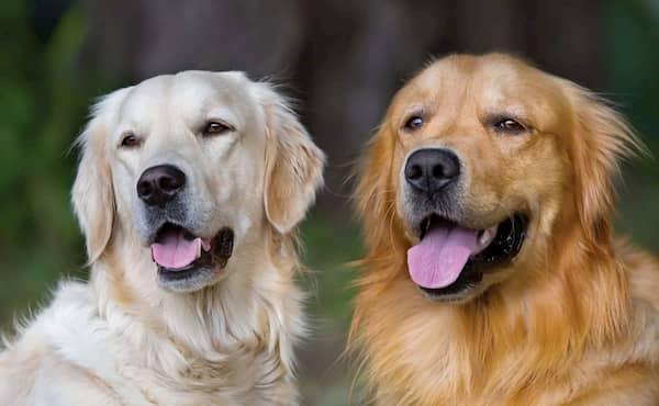 zwei englische Golden Retriever Hunde