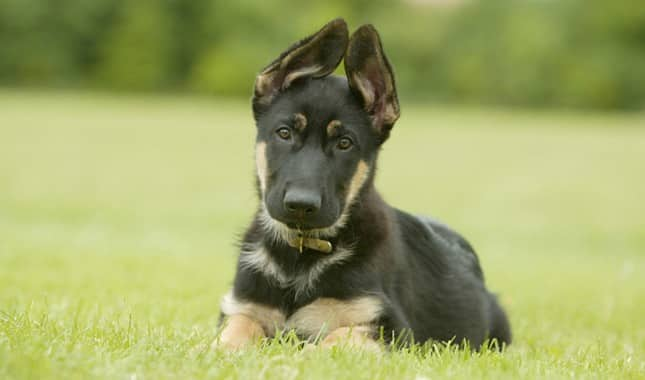 schöner deutscher schäferhund welpe