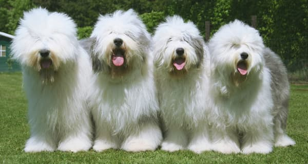 4-Hunde-der-Rasse-Bobtail