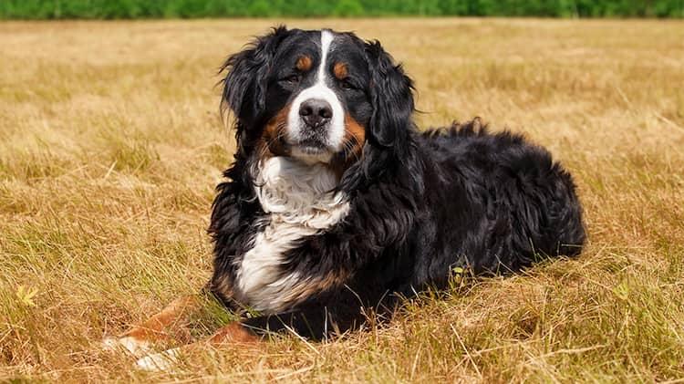 Berner Sennenhund A-Sehr hübsche Rasse