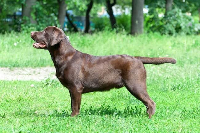 Labrador-Retriever-Farbe-Schokolade