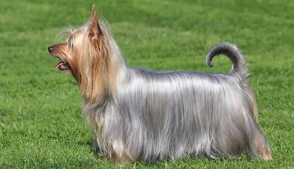 Seiden-Terrier
