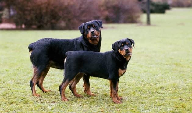 Zwei-Hunde-Rotweiler