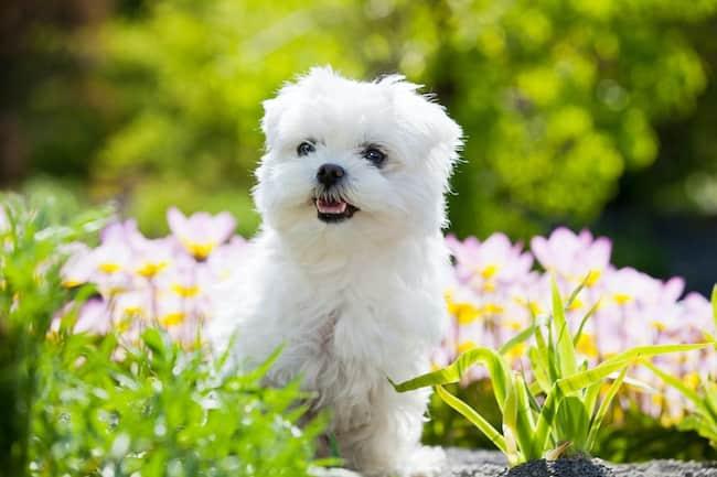 bichon-malteser-hund-weiß