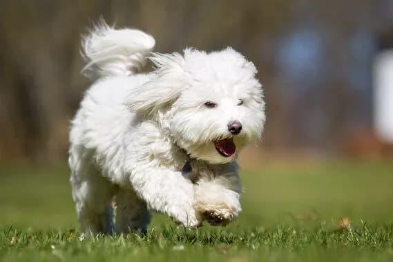 coton-de-tulear-weißer-pelziger-hund