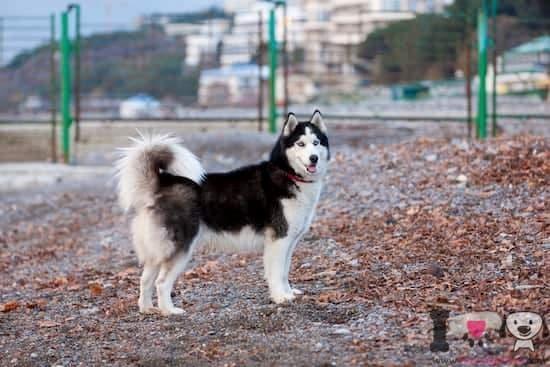 husky-sibirisch