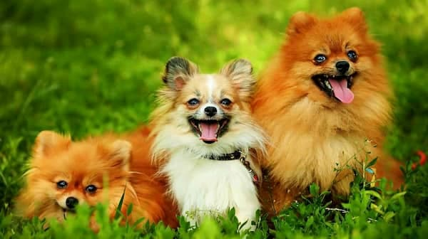 lulu-von-pommerschen-pelzigen-hund