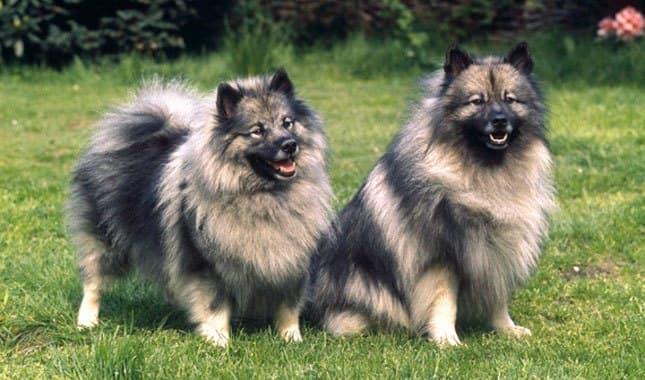 zwei-pelzige-hunde-der-rasse-keeshond