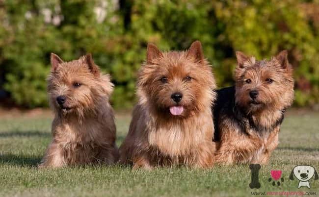 Drei-Hunde-Terrier-im-Feld