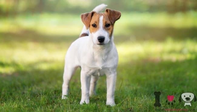 Jack Russell Terrier weiß und braun