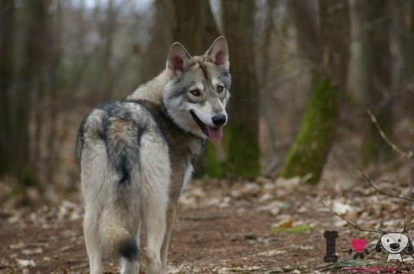 Saarloos-Wolf-Hund
