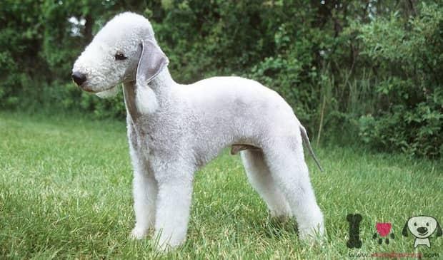 Silberweißer Bedlington Terrier