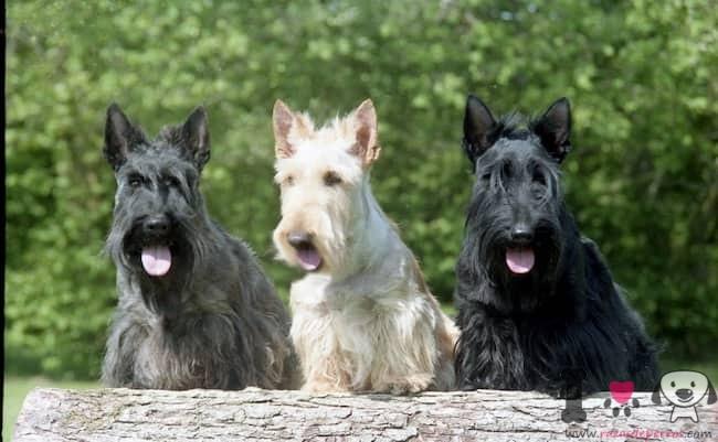 drei hunde der rasse schottischer terrier