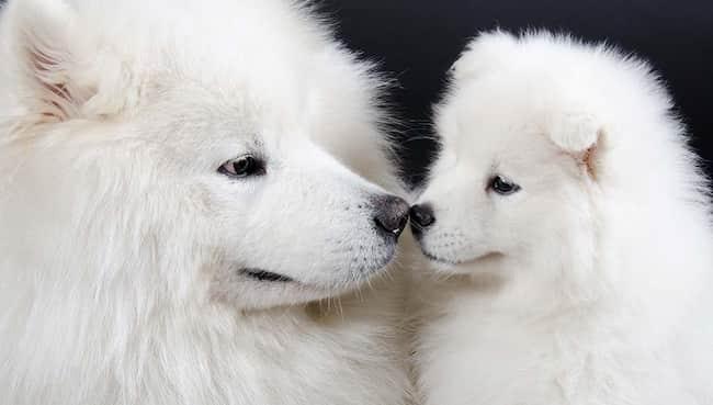 kleinen weißen Hunderassen