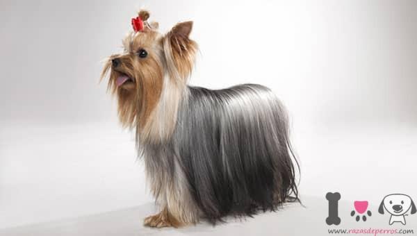 männlicher Yorkshire-Terrier mit langen Haaren