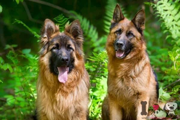 männlicher und weiblicher deutscher schäferhund