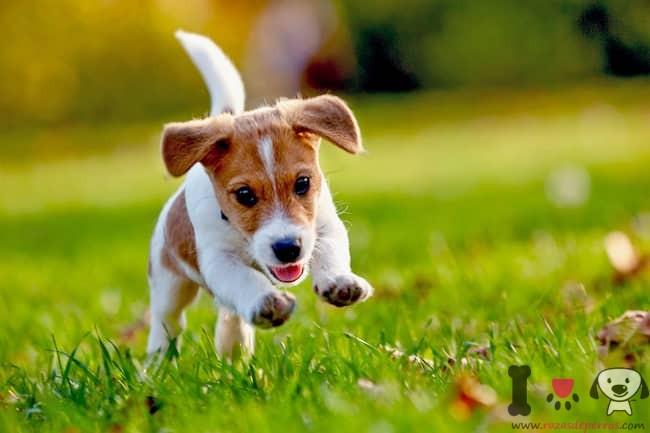 russell-terrier-welpe