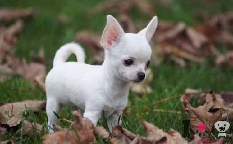 weiße Chihuahua