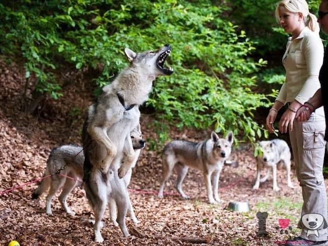 wolf hunde mit ihrem trainer