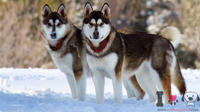 zwei Alaskan Malamute Wolfshunde