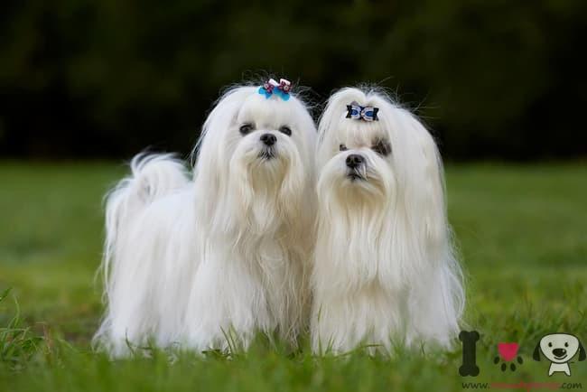 zwei Malteser Bichon Hunde
